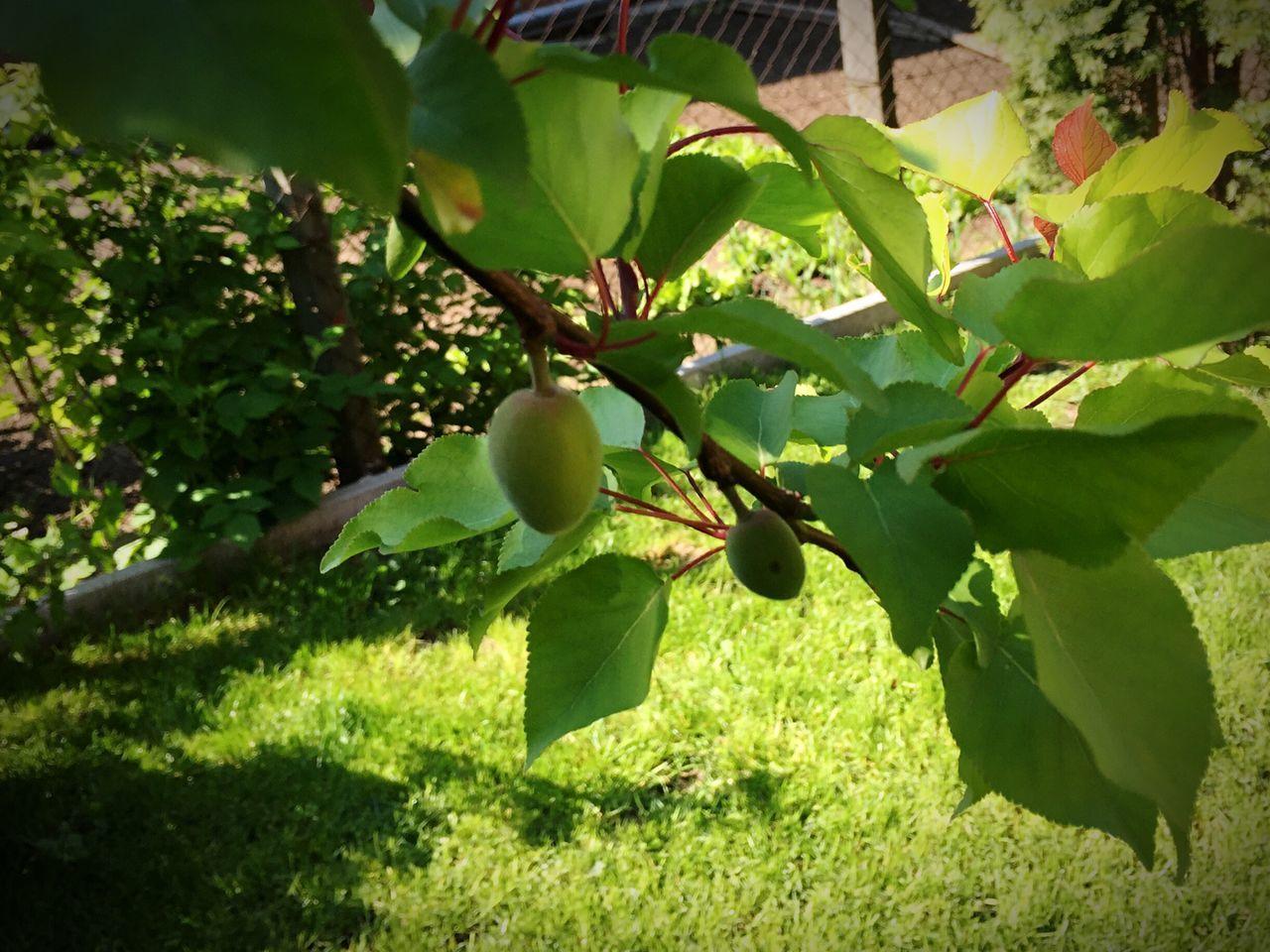 Garden Garden Photography Garden Fruits Fruit Fruit Tree Apricot Tree First Fruit Apricots