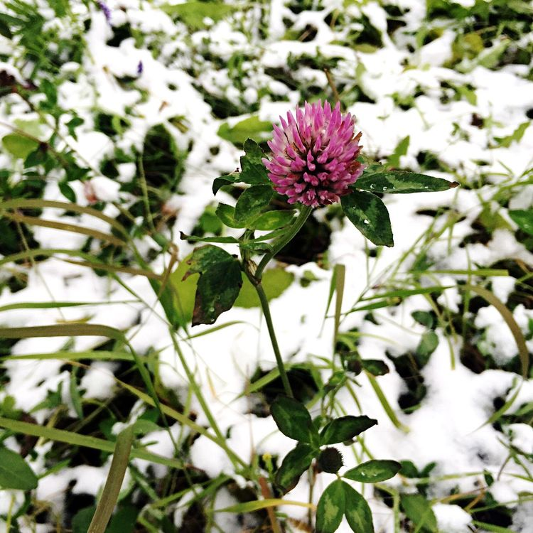 Flower Nature Beauty In Nature Freshness Plant Close-up Flower Head Purple Day Outdoors Snow First Snow Flower In Snow