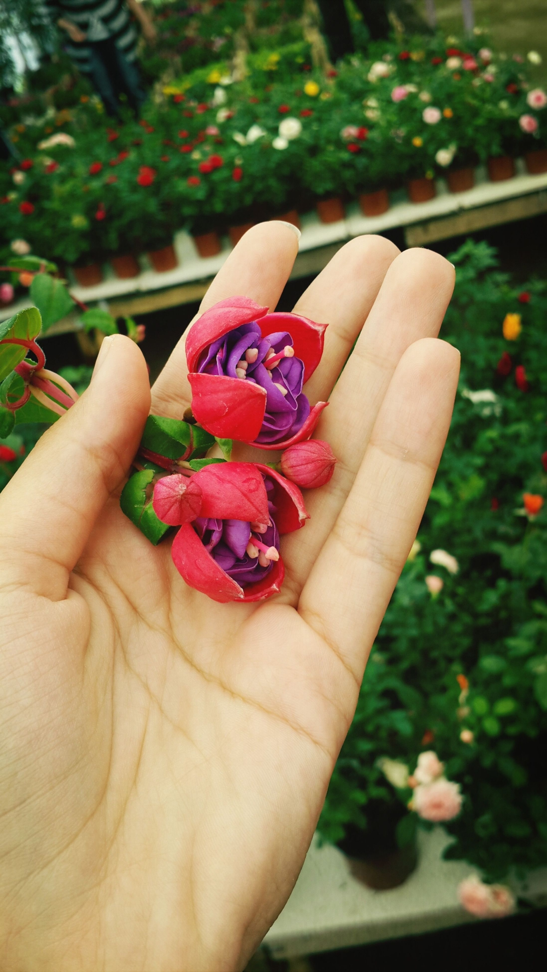 person, holding, human finger, part of, cropped, freshness, unrecognizable person, flower, personal perspective, close-up, focus on foreground, red, showing, fruit, lifestyles, palm, fragility