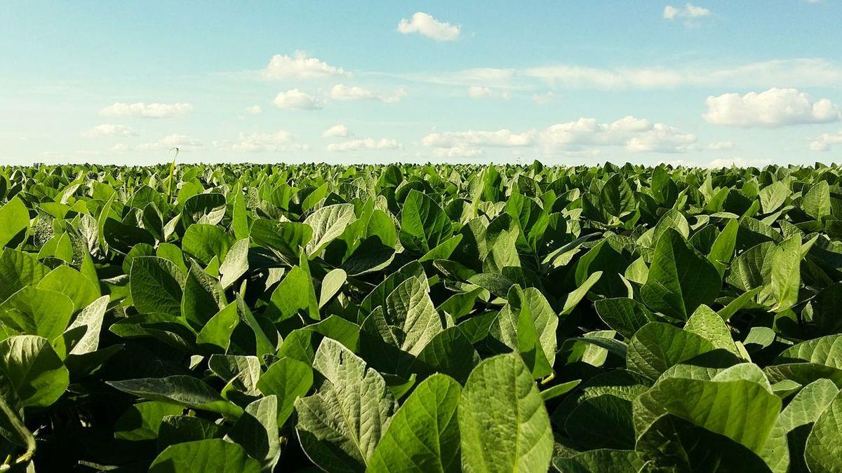 Soybean Soybean Field Farm Farmland Greenville Ohio Darkecounty Green Field Field Blue Sky