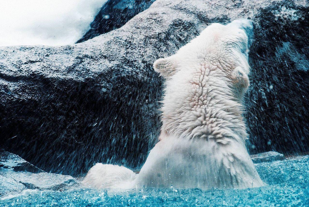 シロクマ 白熊 Polar Bear Whitebear 旭山動物園 旭山動物園