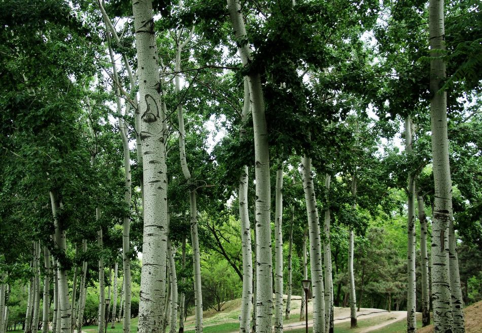 Beauty In Nature Forest Green Green Color Green Color Growth Nature No People Outdoors Poplar Poplar Tree Scenics Tranquility Tree Tree Tree Trunk Tree Trunk Trees