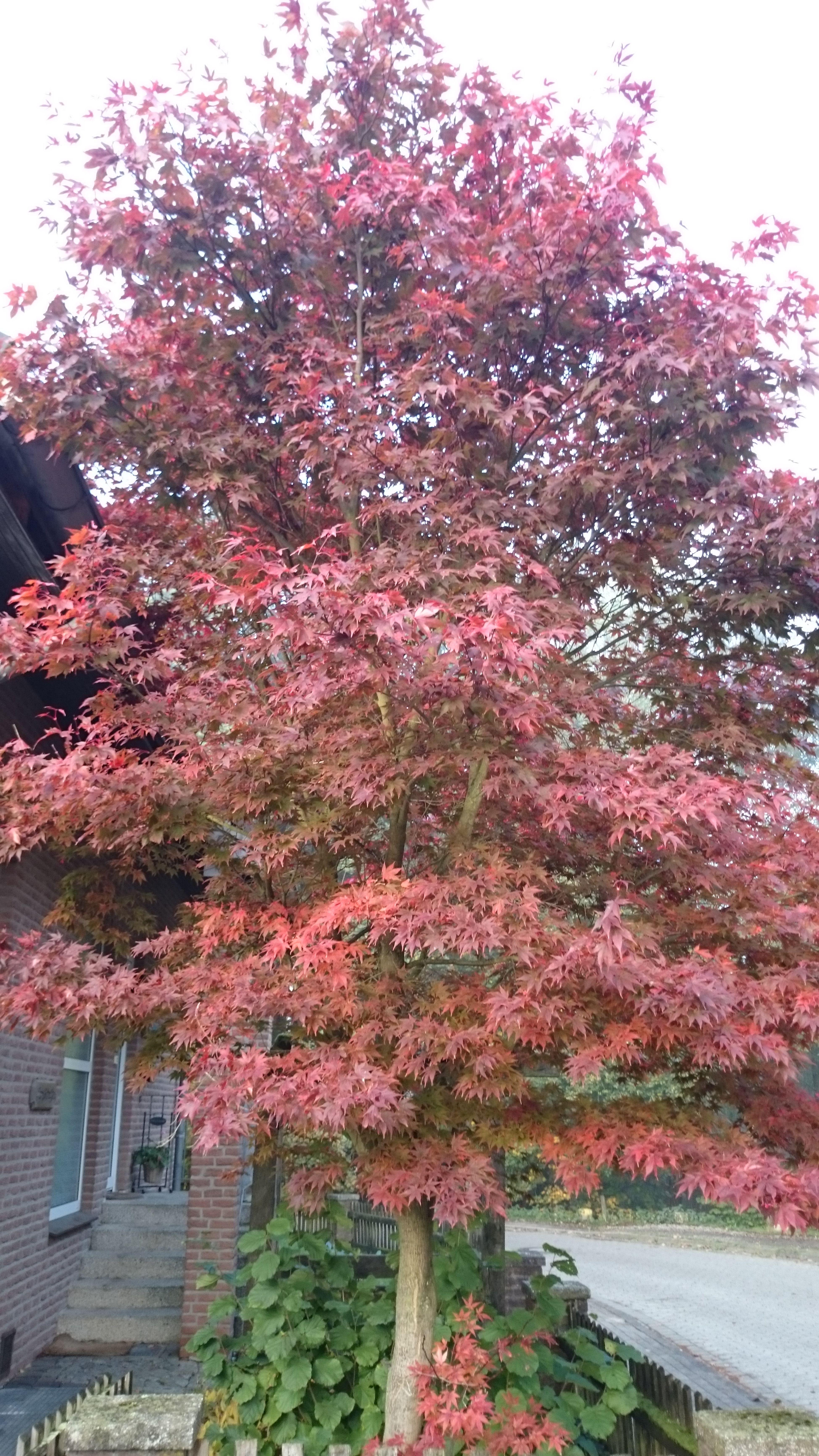 My Indian Summer Dwarf Mahogany 32 Jahre Alt EyeEm Gallery Zwergahorn Germany Nature Tree Red Tree