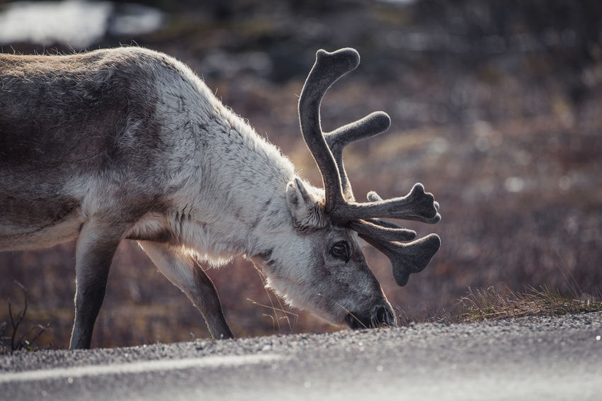 Reindeer by a road in Lapland Finland Lapland Norway Reindeer Reindeer Sighting Reindeer! Reindeer❤️❤️ Road Scandinavia Sweden Animal Themes Animal Wildlife Animals In The Wild Antler Close-up Day Deer Mammal Moose Nature No People One Animal Outdoors The Week On EyeEm EyeEmNewHere