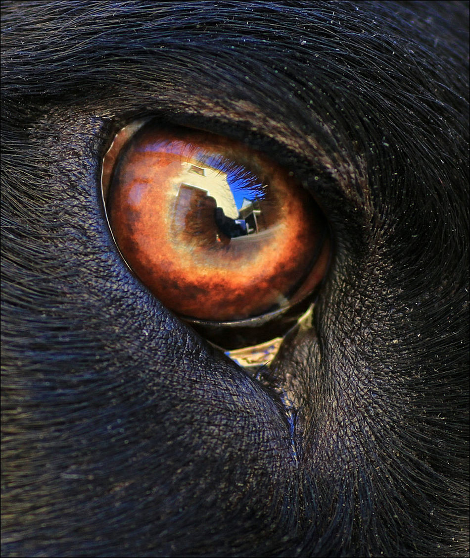 Eyes Blacklabrador Eye4macro Eye4reflections