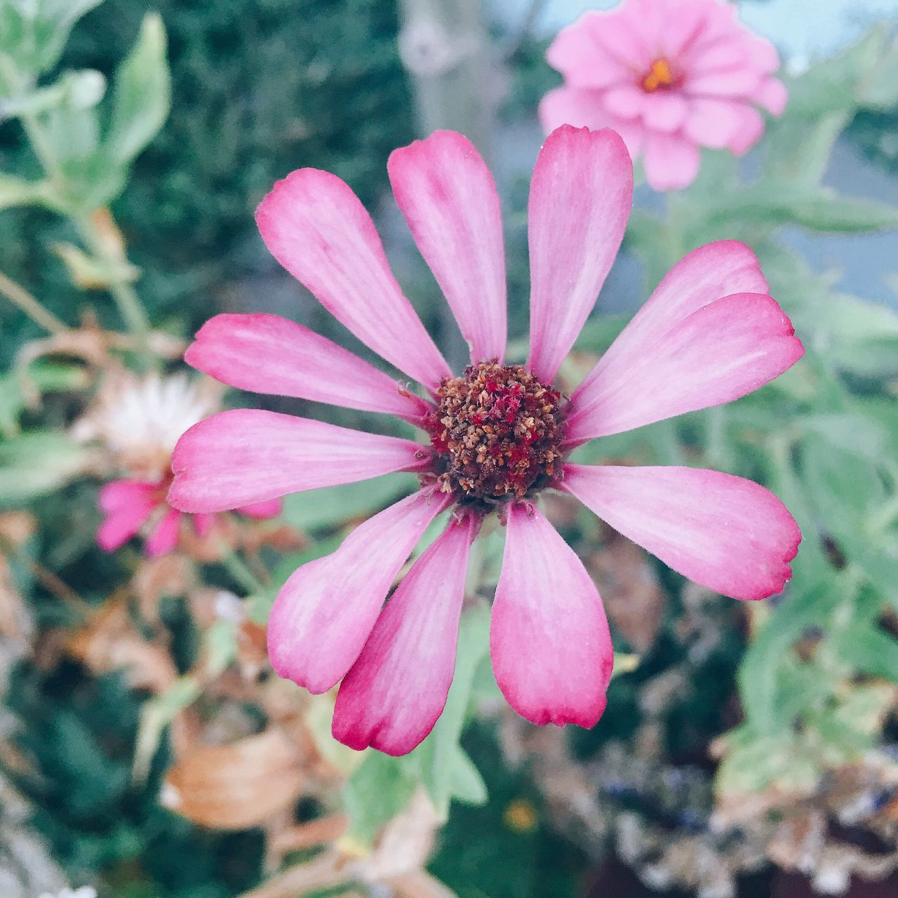 Flower Petal Flower Head Fragility Blooming Nature Pink Color Beauty In Nature Growth Pollen Day Focus On Foreground Plant Outdoors Freshness Close-up No People Osteospermum Zinnia  Eyeem Philippines