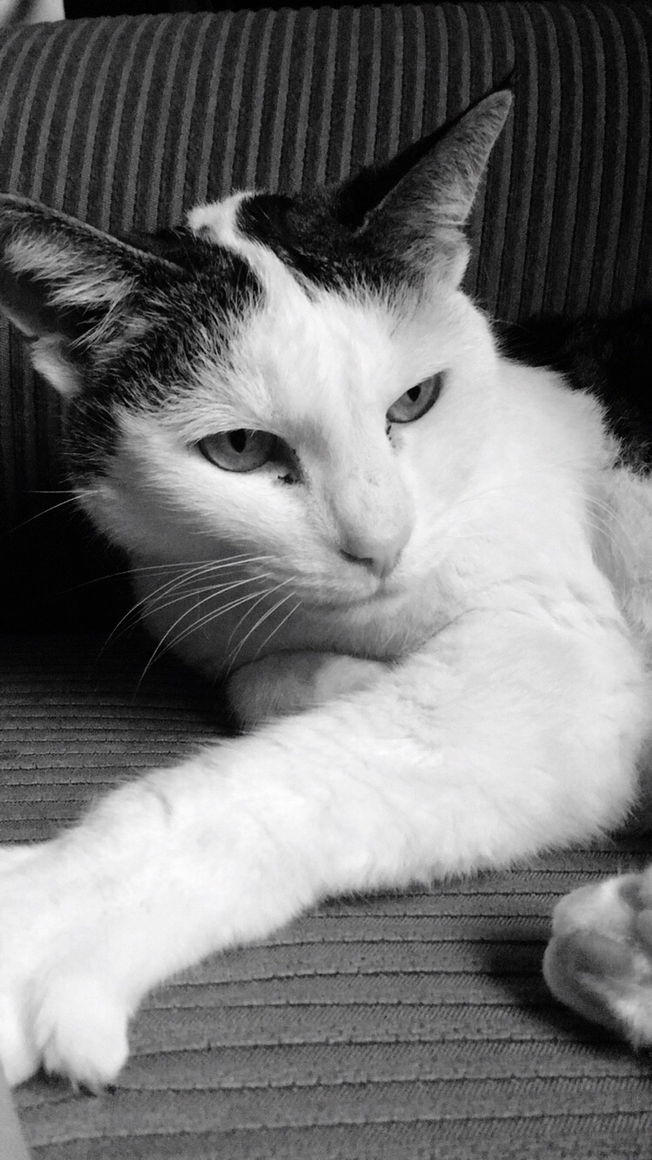 domestic cat, pets, domestic animals, cat, one animal, indoors, animal themes, feline, mammal, relaxation, whisker, close-up, resting, lying down, home interior, animal head, portrait, looking at camera, bed, sofa