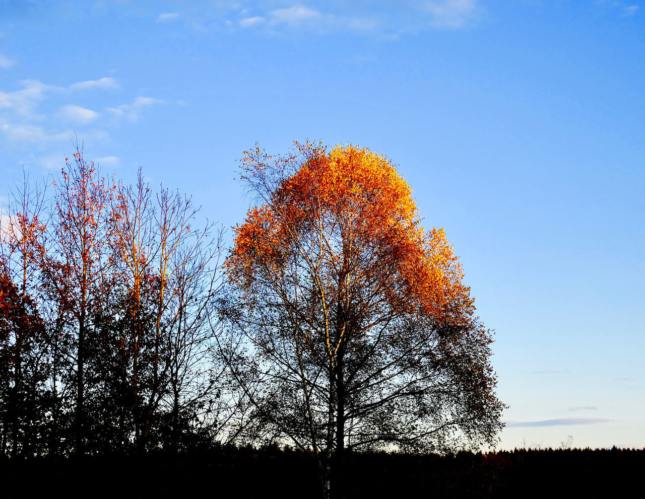 tree, autumn, nature, change, beauty in nature, tranquility, tranquil scene, outdoors, sky, leaf, day, scenics, maple tree, silhouette, no people, branch