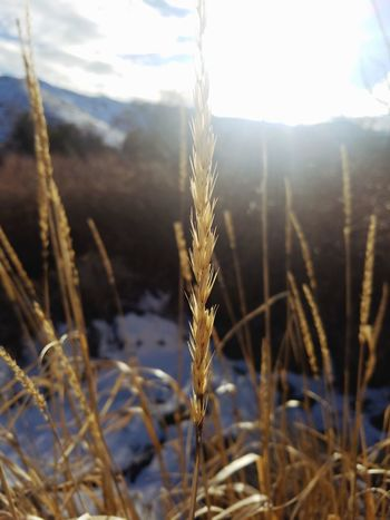 Winter Cold Temperature Nature Cereal Plant Crop  Wheat Weather Close-up Frozen Focus On Foreground Plant Growth Snow Gold Colored Frost Landscape Outdoors Scenics Beauty In Nature City EyeEmNewHere Reno, NV The Simple Things City Life Beauty In Ordinary Things