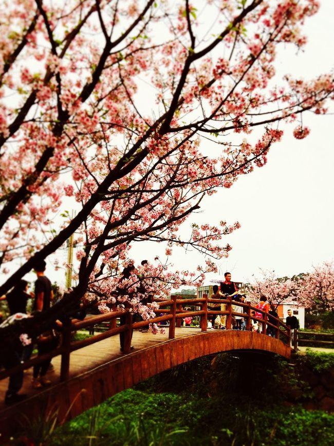 春の桜が咲く The View And The Spirit Of Taiwan 台灣景 台灣情