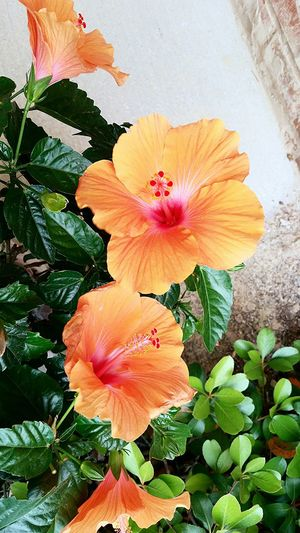 Hibiscus Flower Hibiscus Journey Beautiful Nature Beautiful Day Growth