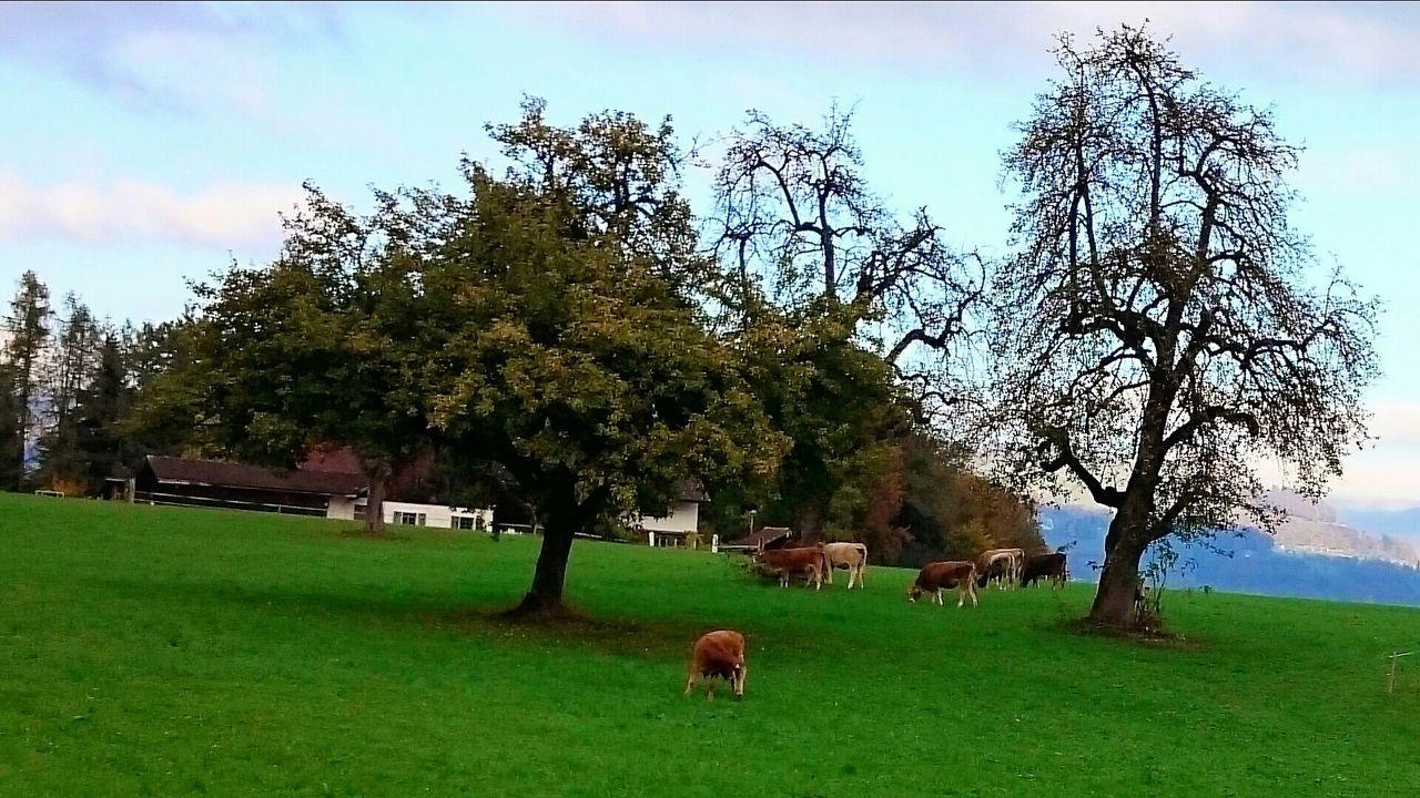 grazing swiss cows Cows Swiss Landscape Landscape