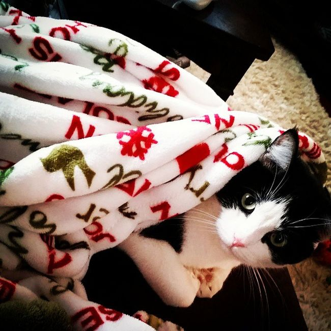 Richardthecat loves his new christmas blankie Snugglekitty Christmasblankie Catpicoftheday christmaskitty