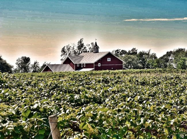 Pennsylvania East Town LakeErie Built Structure Concord Grapes Wineries Barn Red Vineyard Vineyard Vines Vacations Day Outdoors