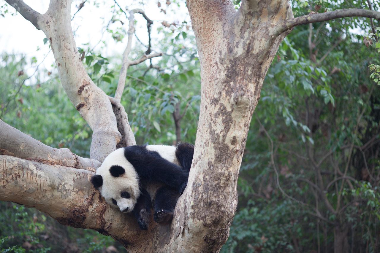 Beautiful stock photos of panda, Animal Behavior, Animal Themes, Animals In The Wild, Bear