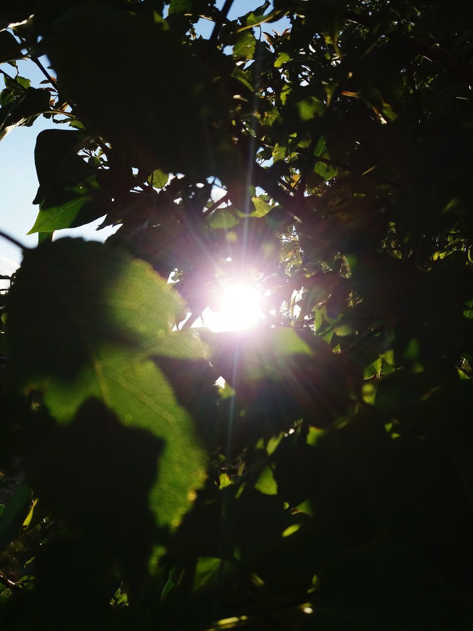 sun, growth, sunlight, lens flare, nature, sunbeam, tree, beauty in nature, outdoors, no people, plant, leaf, sunshine, branch, day, freshness, close-up, sky