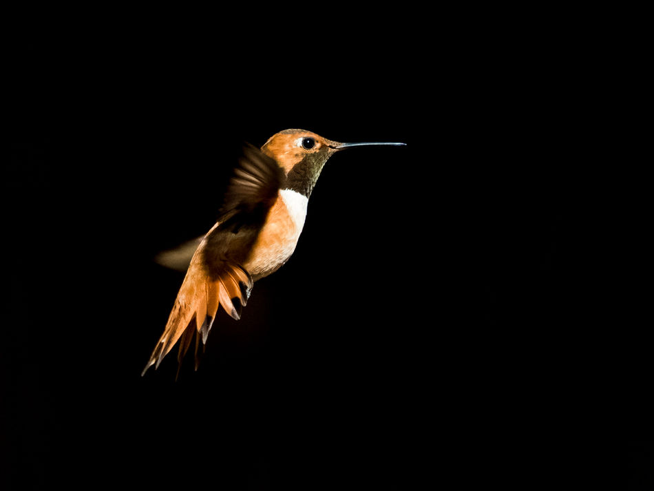 Animal Themes Animal Wildlife Animals In The Wild Beak Beauty In Nature Bird Bird In Flight Black Background Close-up Day Flying Hummingbird Motion Nature No People One Animal Outdoors Rufous Rufous Hummingbird Spread Wings Wildlife & Nature Wildlife Art Wildlife Photography