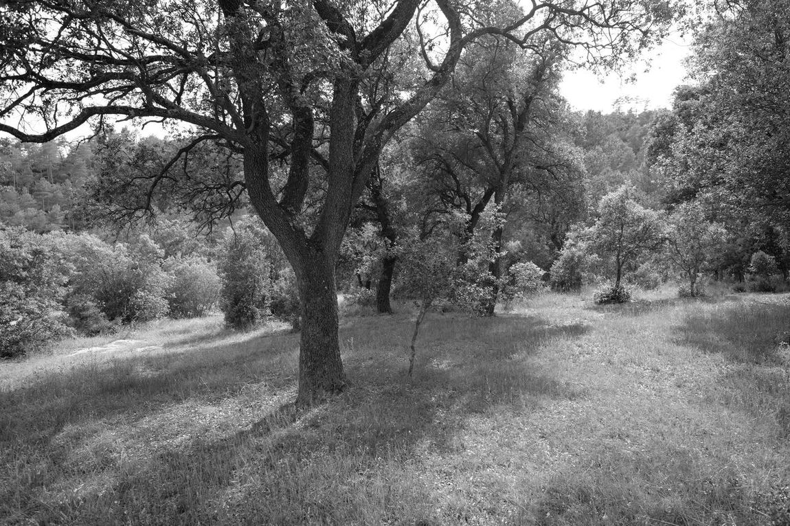 Family of holm oaks Forest Grass Holm Oaks Landscape Nature No People Outdoors Tranquility Tree