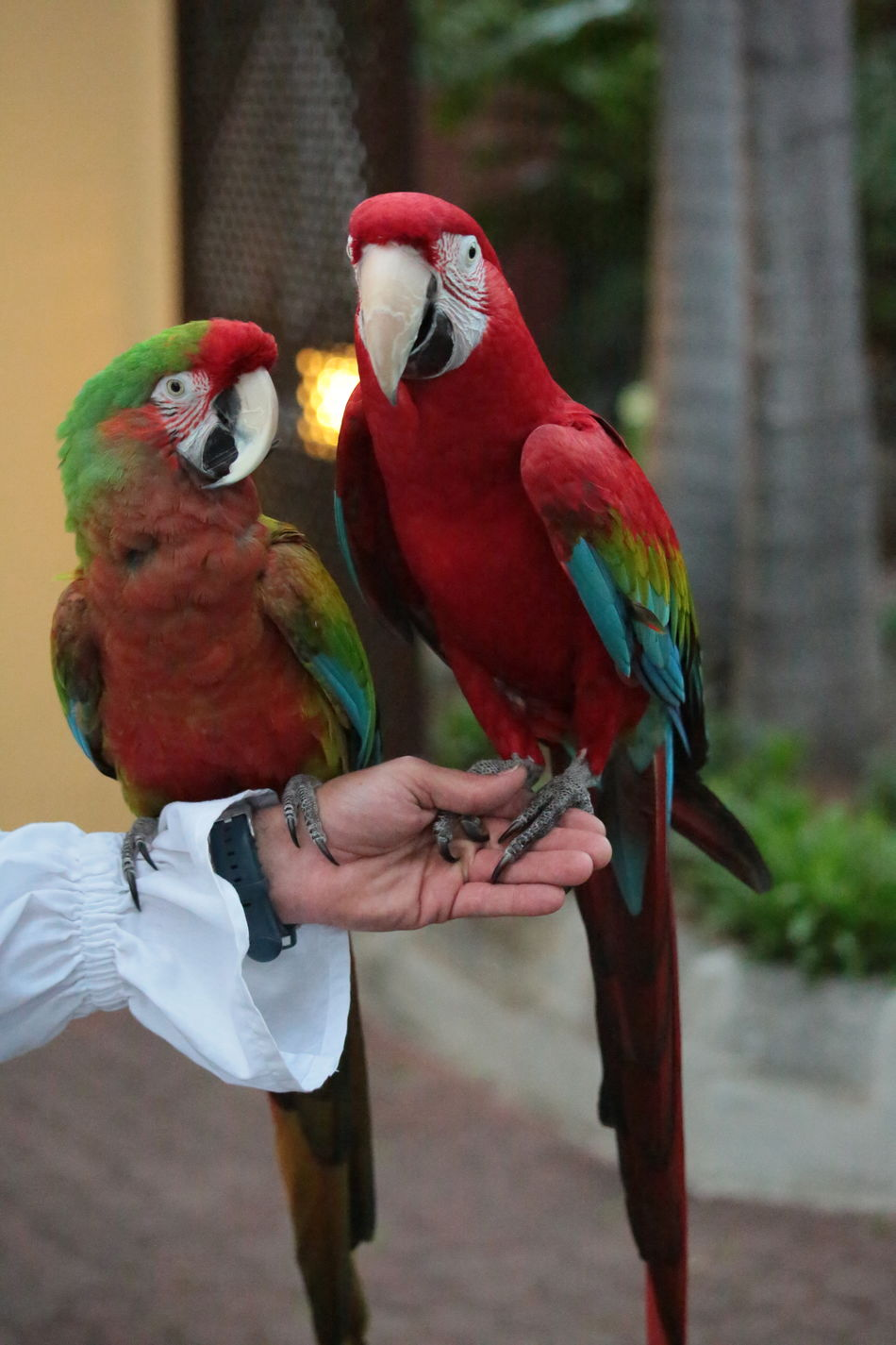 Frends Parrots Parrot Bird Red Animal Multi Colored Macaw Animal Wildlife Pets Close-up Birds Of EyeEm  Birds Of A Feather Textures And Colors Eyem Best Shots 3XSPUnity Beautiful Nature Nature Beauty In Nature Cloursplash Pair Of Birds Macaw Parrot Macaw Red