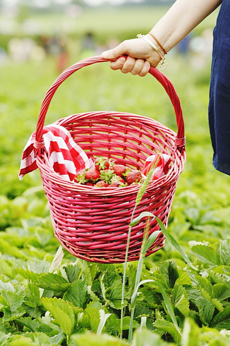 Green Strawberry Fields Nature Basket Hand Holding Strawberries