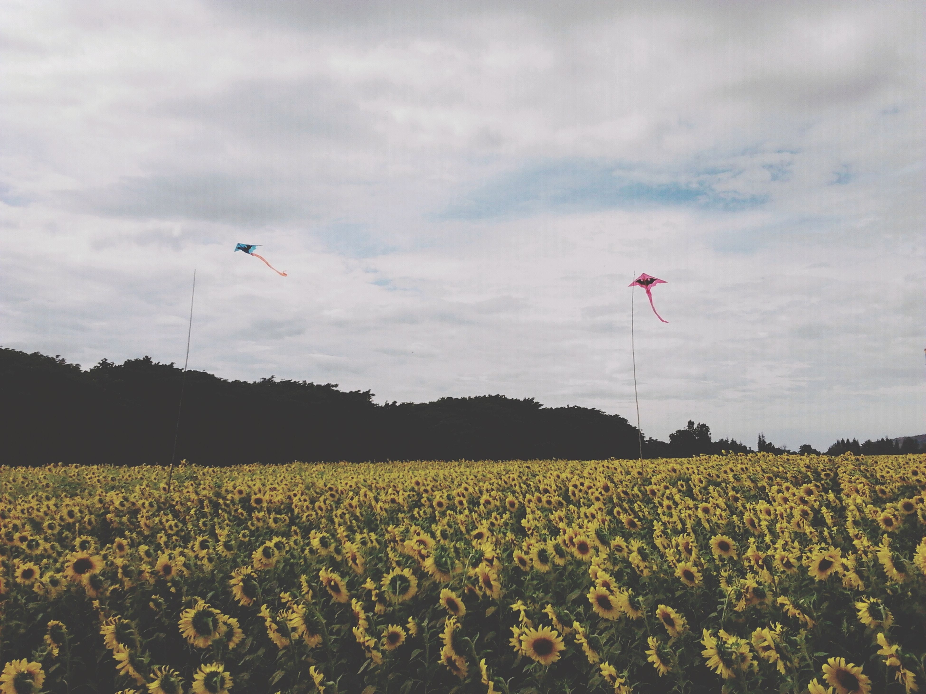 sky, field, landscape, cloud - sky, flying, flower, flag, nature, tranquility, beauty in nature, tranquil scene, rural scene, scenics, growth, cloud, mid-air, agriculture, wind, patriotism, day