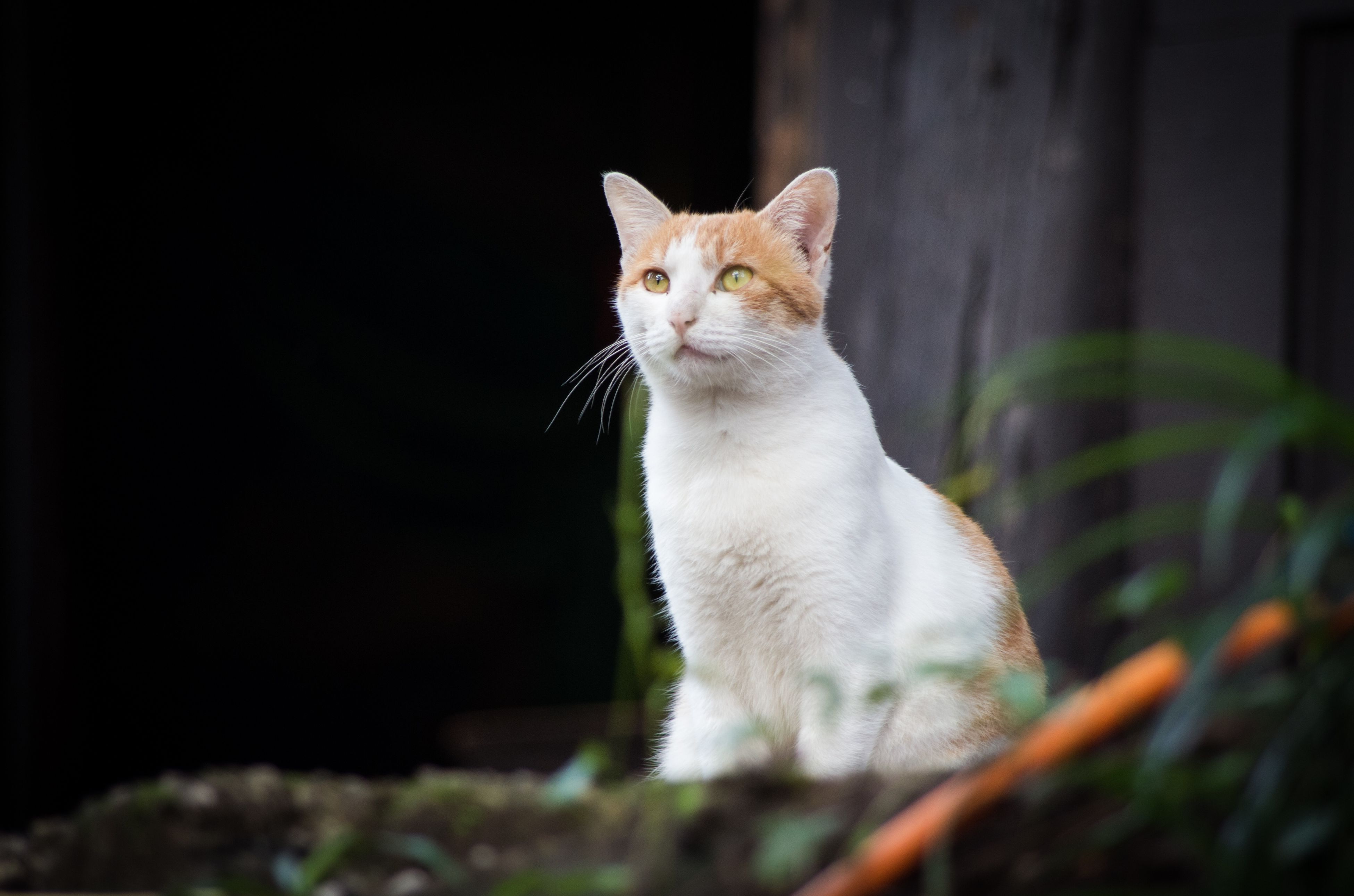 domestic cat, cat, pets, feline, one animal, animal themes, domestic animals, mammal, whisker, alertness, portrait, sitting, staring, looking away, close-up, selective focus, no people, focus on foreground, curiosity