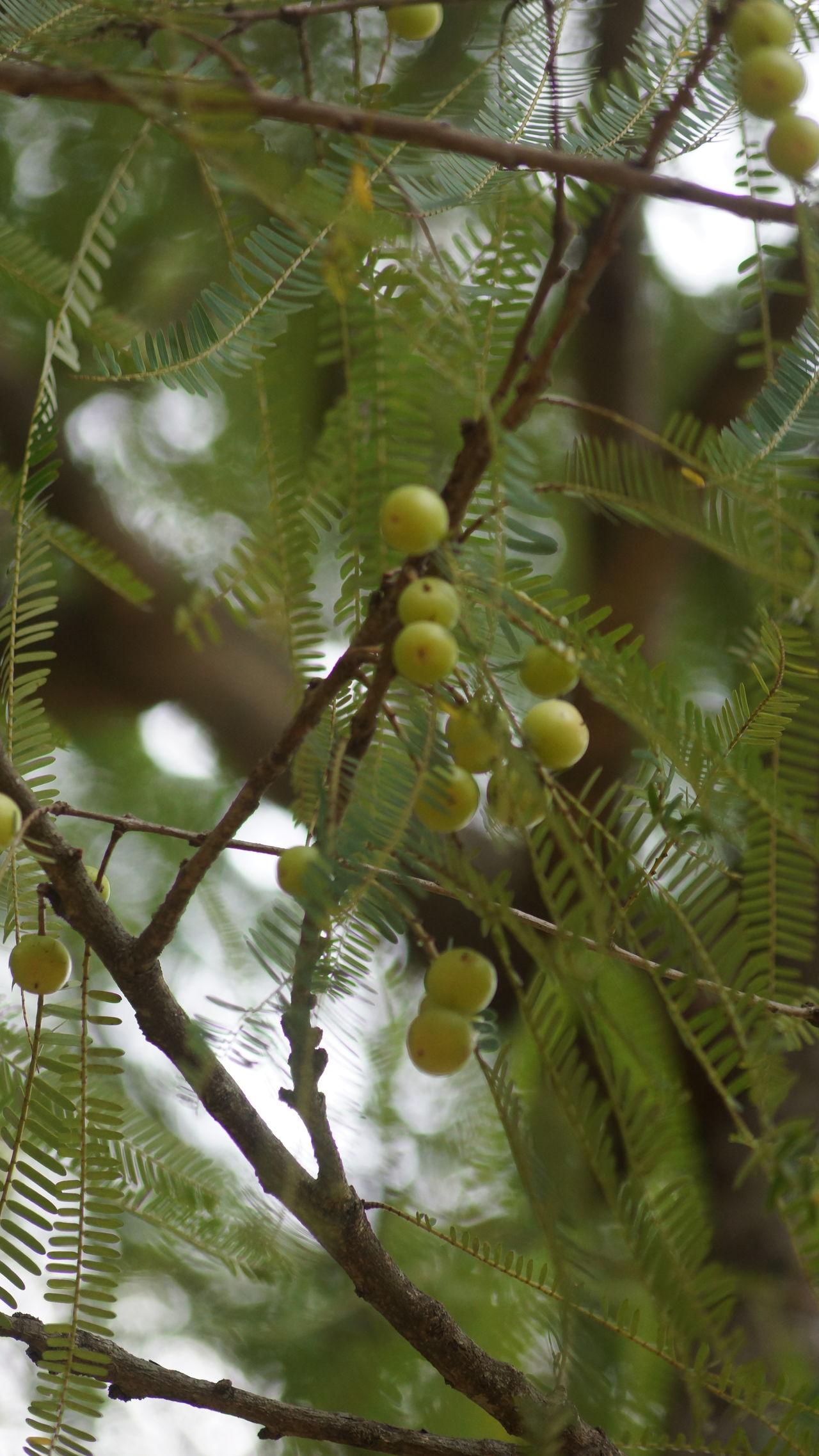 AMLA Ayurveda Indian Gooseberry Nellikai Phyllanthus Emblica Tree Tropics Twigs