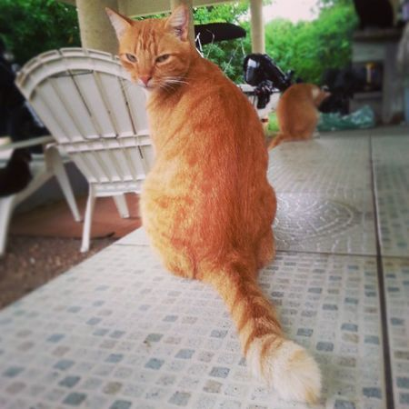 """Goldie's reaction when I tried told him he should be """"Puss in Boots"""" for Halloween, LOL! Cat Cats Yellowcat Pussinboots pussinbootslookalike catoftheday"""