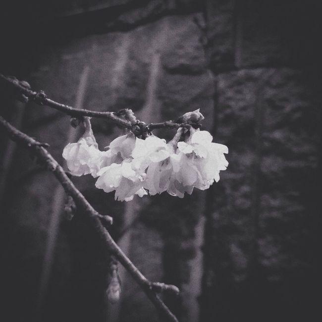 冬桜。 Monochrome