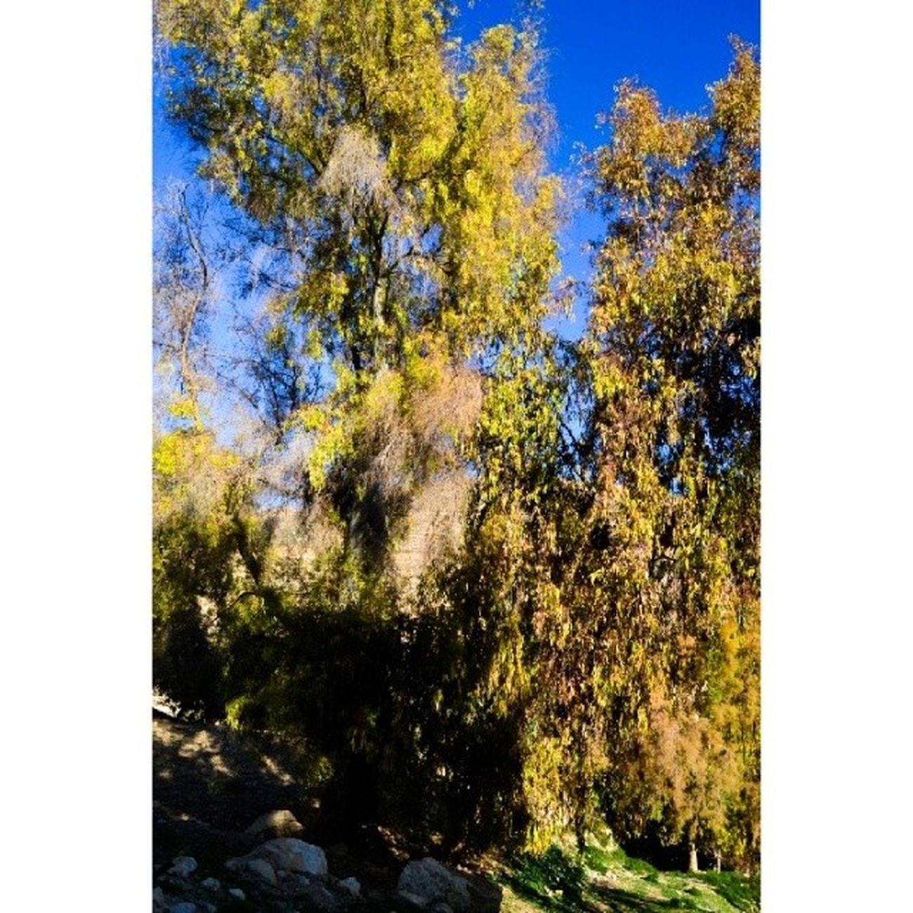 شجر اخضر طبيعة رميمين الاردن عين_الباشا السلط ورق_شجر tree leaves jordan alsalt ainalbasha naturebeauty nature land beautifuljordan beautifulnature beautifulland beautifulearth