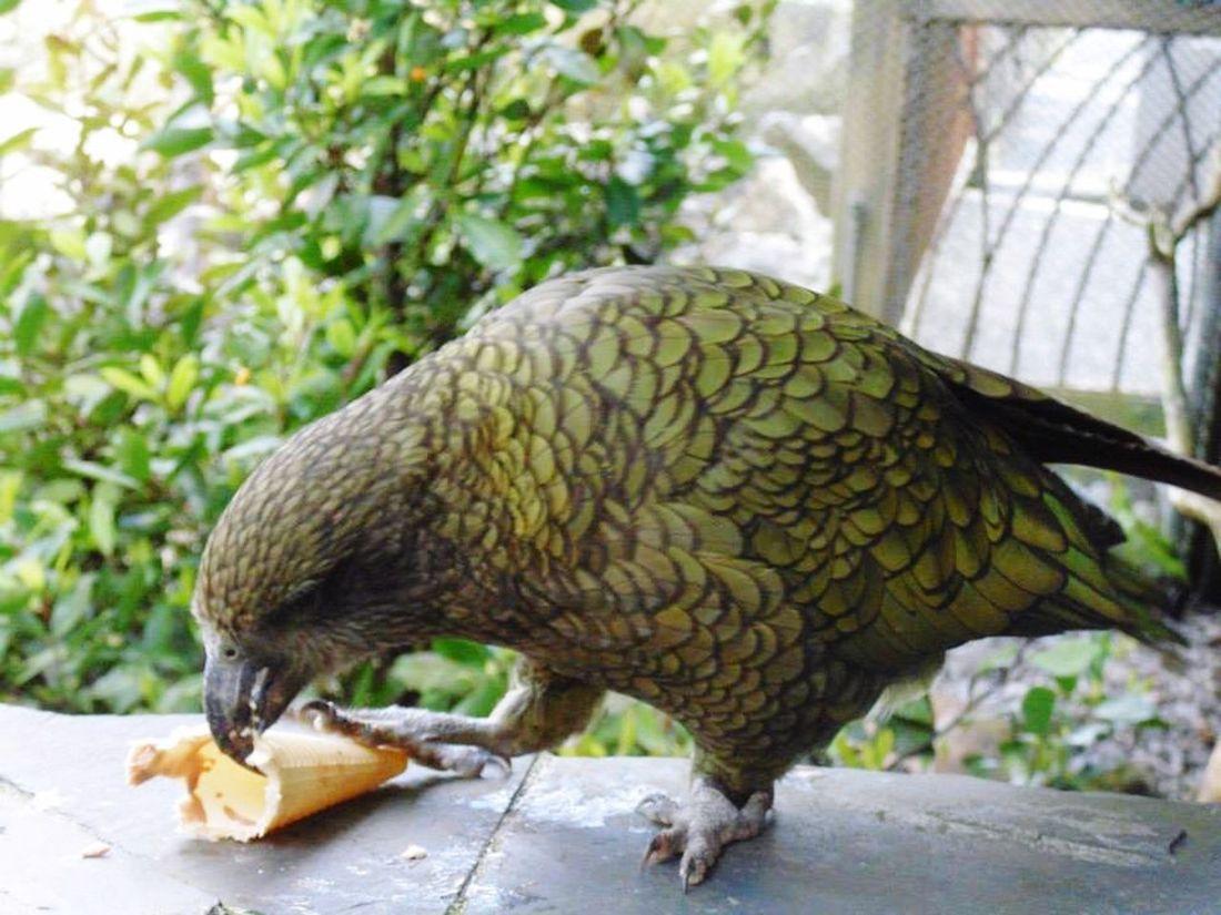 Native Birds Birds Kea Auckland Zoo Zoo Animals  Animals Bird Photography Panasonic
