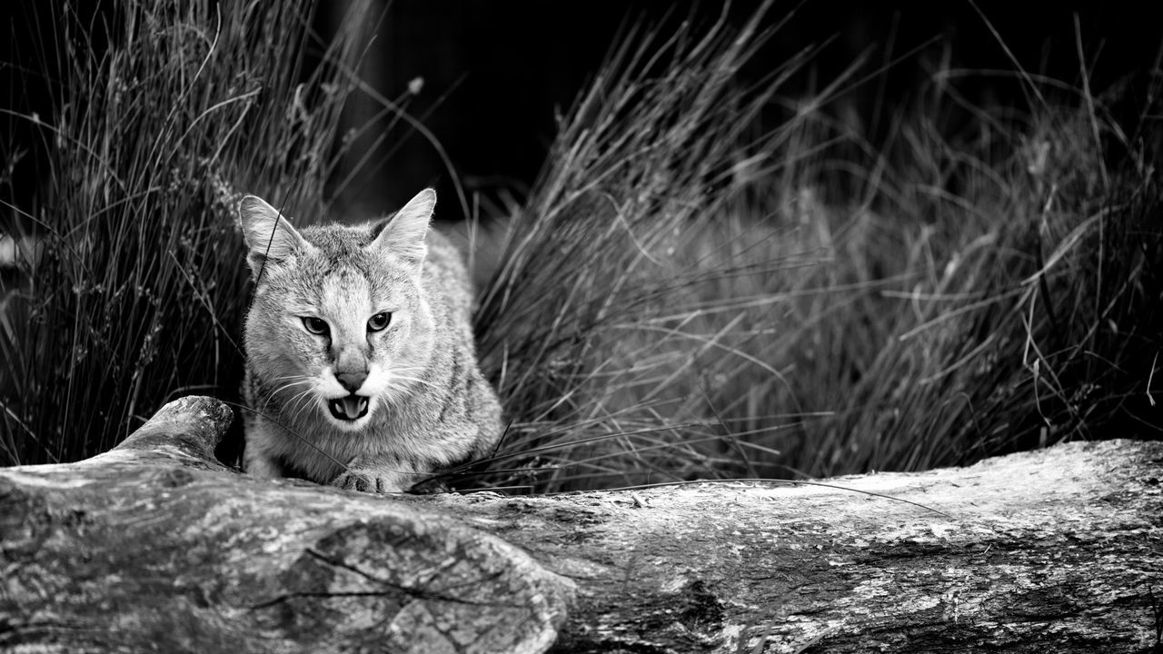 Wildlife Cat Blackandwhite Landscape Nature Animals Wild
