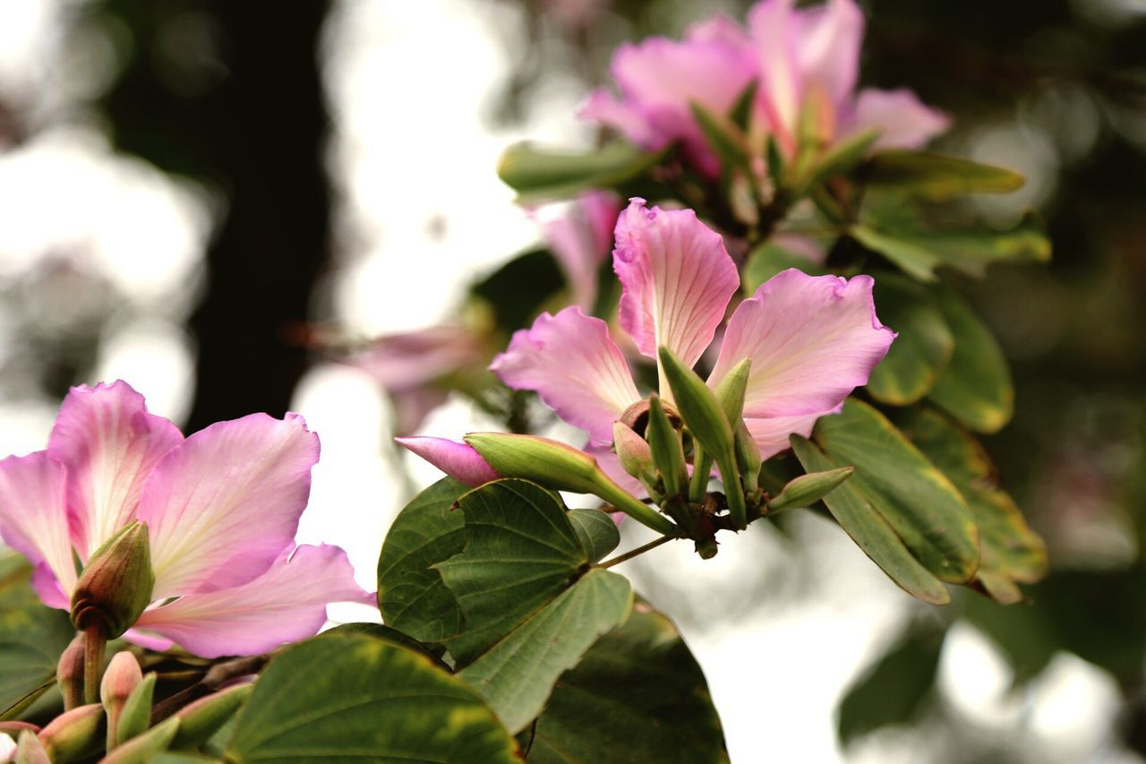 flower, petal, fragility, beauty in nature, nature, pink color, freshness, growth, flower head, plant, close-up, blooming, no people, outdoors, day, leaf, periwinkle