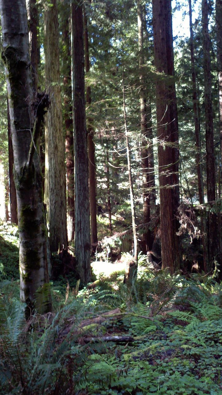 forest, tree, tree trunk, nature, day, no people, growth, woodland, tranquility, outdoors, landscape, beauty in nature