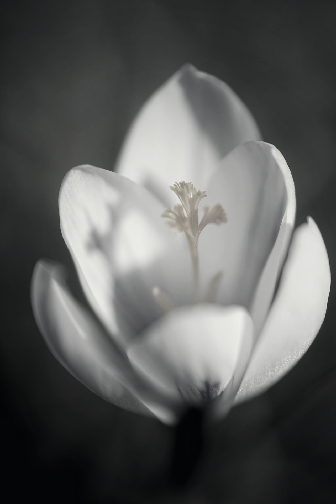 Part 3. Are you missing the color? 😉 Fragility Flower Nature Plant Beauty In Nature Close-up Macro No People Shadow Beauty Flower Head Black Background Indoors  Day Black And White Black And White Series
