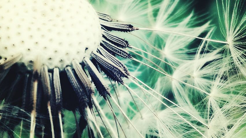 Nature Beauty In Nature Close-up Fragility No People Outdoors Plant Day Flower Freshness Dandelion Uncultivated Flower Head Dandelion Seed Macro Nature Macro Flowers
