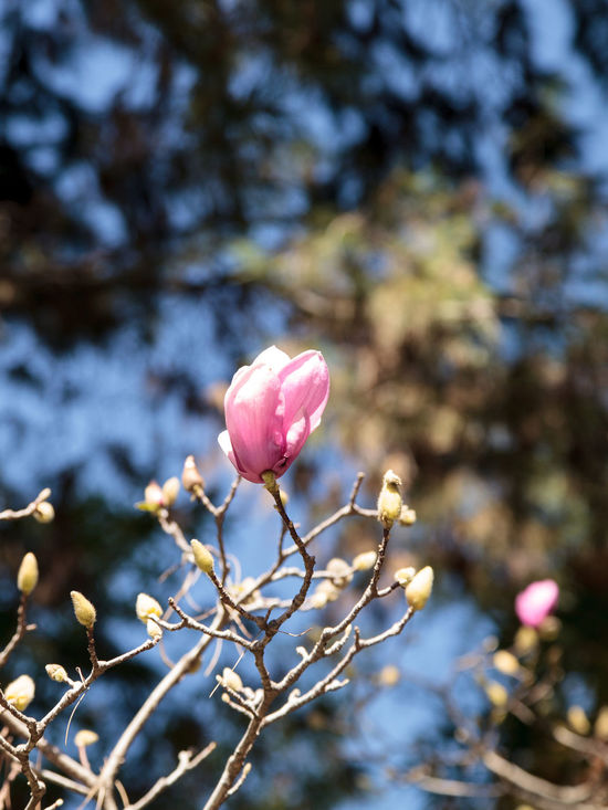 Pink magnolia flower on a Magnolia × soulangeana, also called the saucer magnolia, is a hybrid tree in the genus Magnolia. Beauty In Nature Close-up Day Flower Flower Head Fragility Freshness Growth Hybrid Tree Magnolia Magnolia Blossoms Magnolia Flower Magnolia Tree Nature No People Outdoors Pink Color Saucer Magnolia Soulangeana