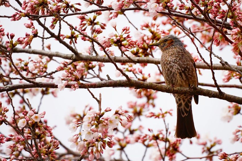 Capture The Moment Perching Bird Animal Wildlife Sakura Springtime One Animal Pink Color Blossom Beauty In Nature Low Angle View Uzuki Of The Flower Cherry Blossoms Still Life Fantasy Fragility Nature Snapshots Of Life Depth Of Field Selective Focus Full Frame Detail Sigma EyeEm Best Shots 17_04 Art Is Everywhere EyeEmNewHere The Secret Spaces