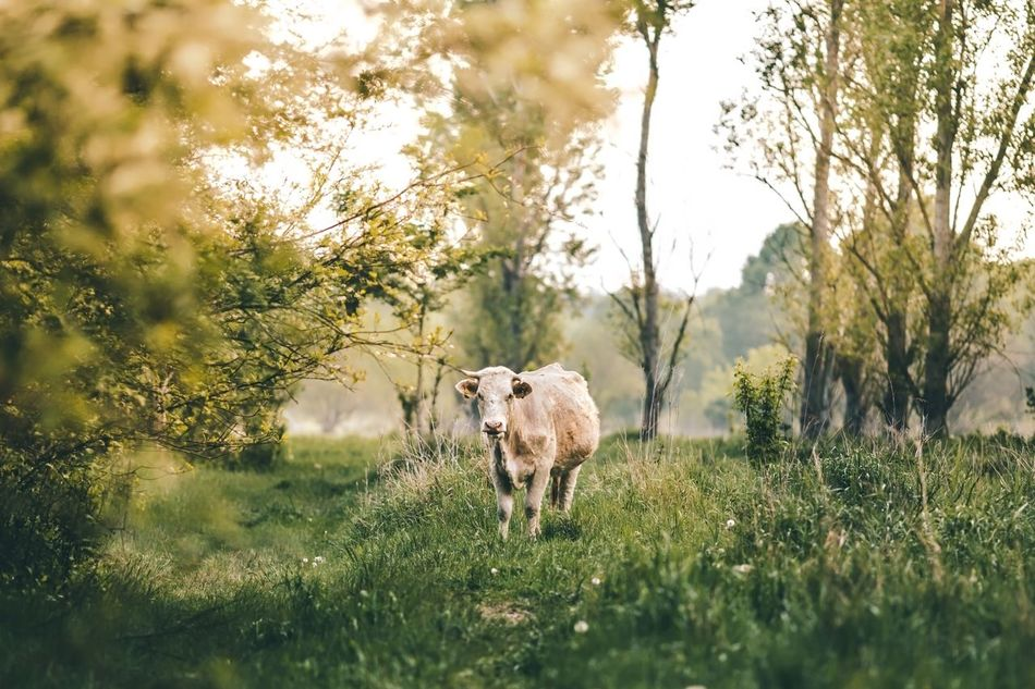 Beautiful stock photos of kühe, Animal Themes, Cattle, Cow, Day