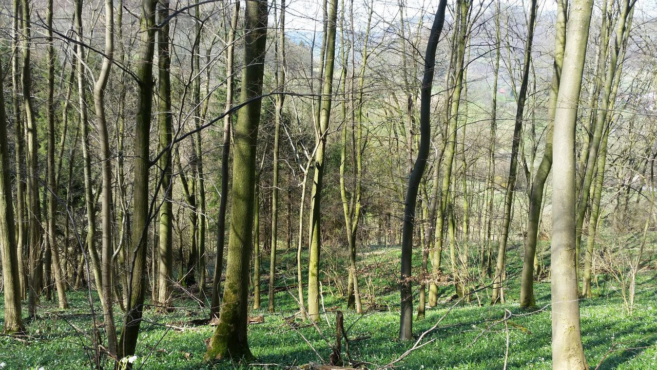 forest, tree, nature, tree trunk, tranquility, tranquil scene, no people, day, outdoors, beauty in nature, growth, grass, scenics, landscape, bare tree, branch