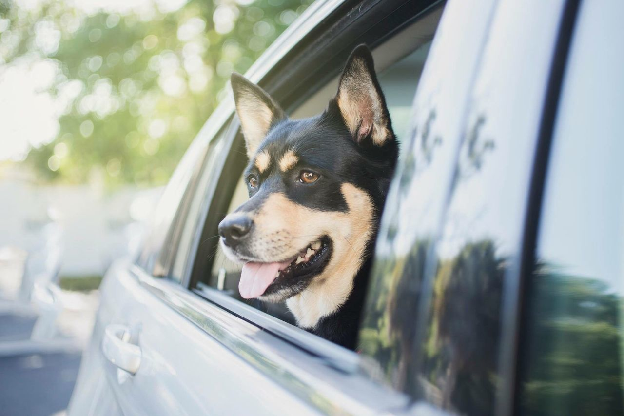 car, transportation, dog, land vehicle, one animal, mode of transport, pets, day, domestic animals, car interior, window, animal themes, windshield, outdoors, no people, close-up, road trip, mammal, tree