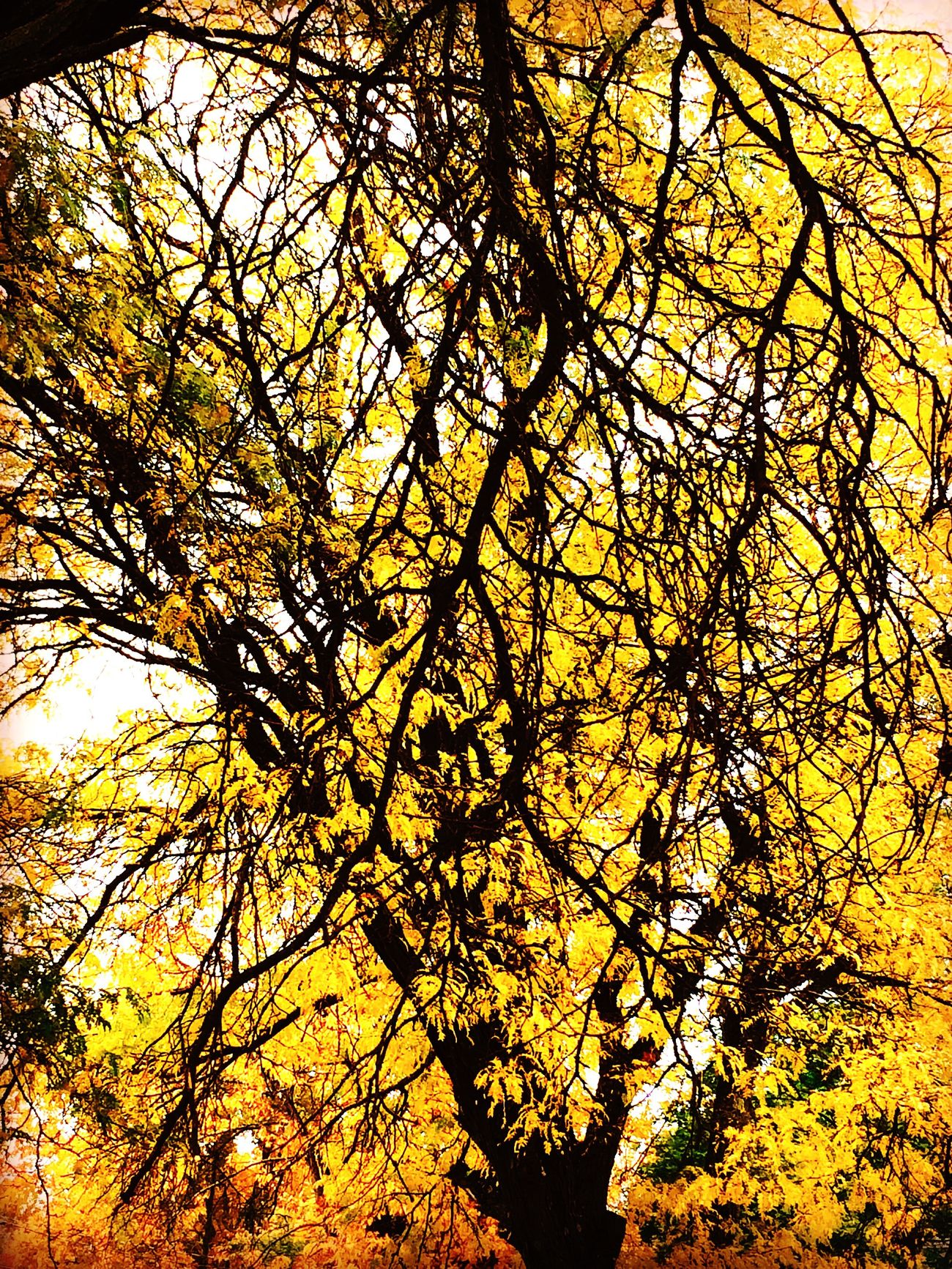 Tree Nature Beauty In Nature No People Branch Growth Low Angle View Tranquility Yellow Outdoors Scenics Backgrounds Sky Close-up Day Branches Black And Yellow  Orange