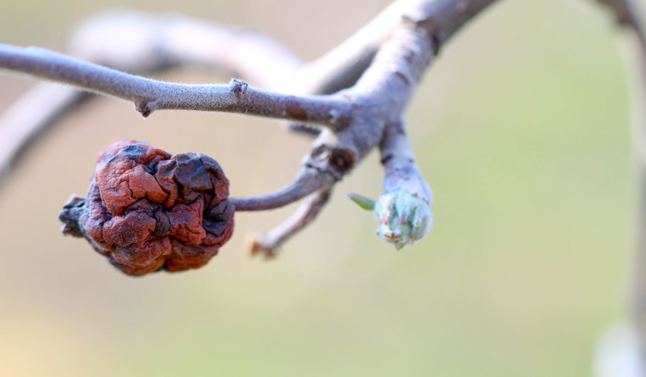 apple buds before blossoming Apple Apple Buddy Apple Orchard Apple Tree Begining Beginnings Blossoms  Bud Close-up Day March, 24, 2017. May Nature New Life No People Spring