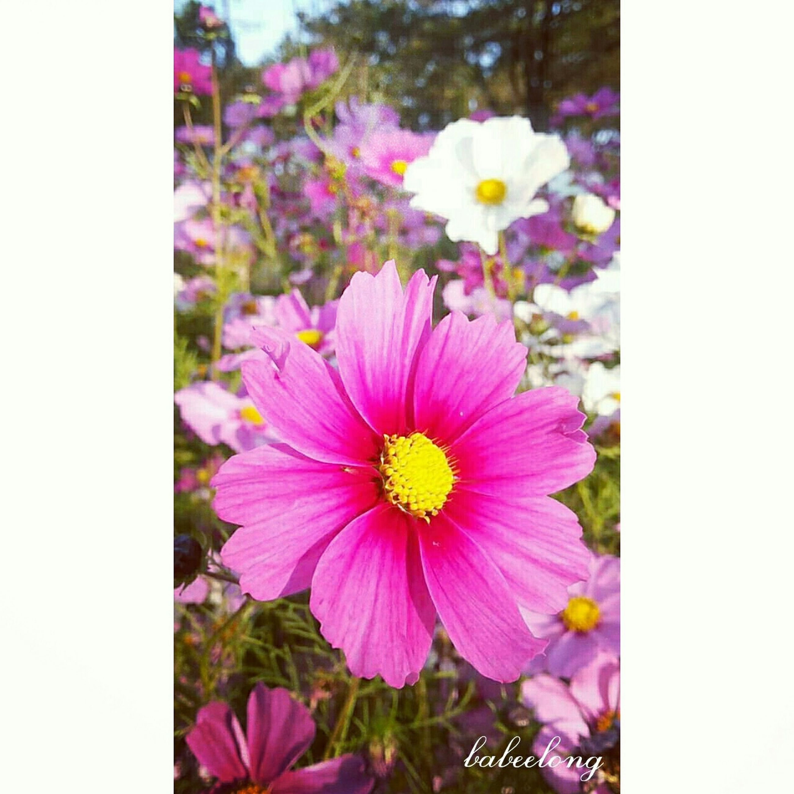 flower, freshness, petal, fragility, flower head, transfer print, beauty in nature, auto post production filter, growth, blooming, pollen, nature, close-up, pink color, focus on foreground, purple, in bloom, yellow, blossom, plant