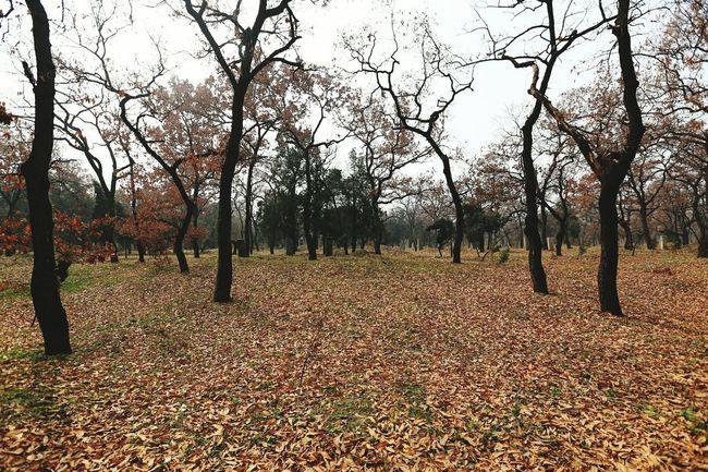 My City Oudside 曲阜 孔子 孔林 Tree Yellow