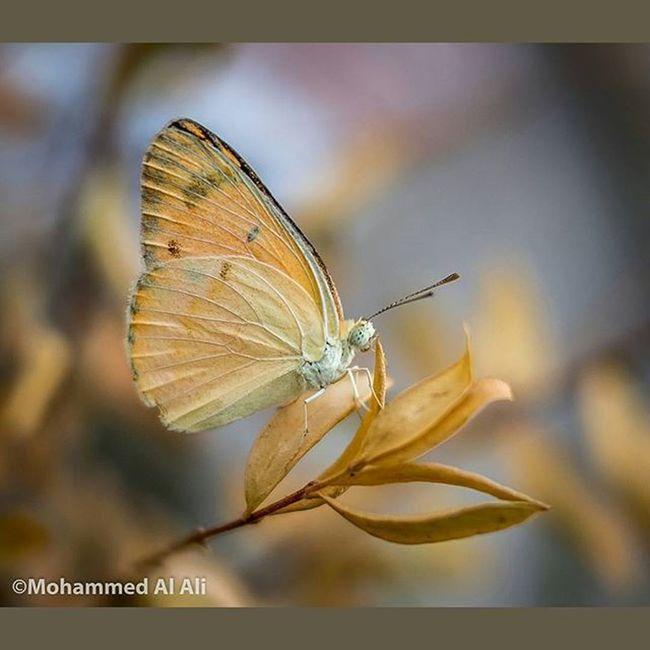 Olympus Olympusepl7 PL7 20mm Lumix Mft Micro_four_third Macro Butterfly Basrah Iraq
