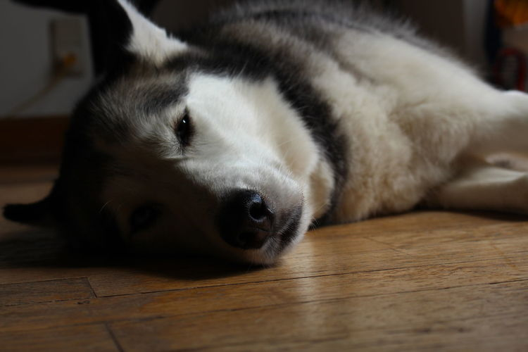 Animal Themes Close-up Day Dog Domestic Animals Indoors  Lying Down Mammal Nature No People One Animal Pets Portrait Relaxation Siberian Husky Sleeping
