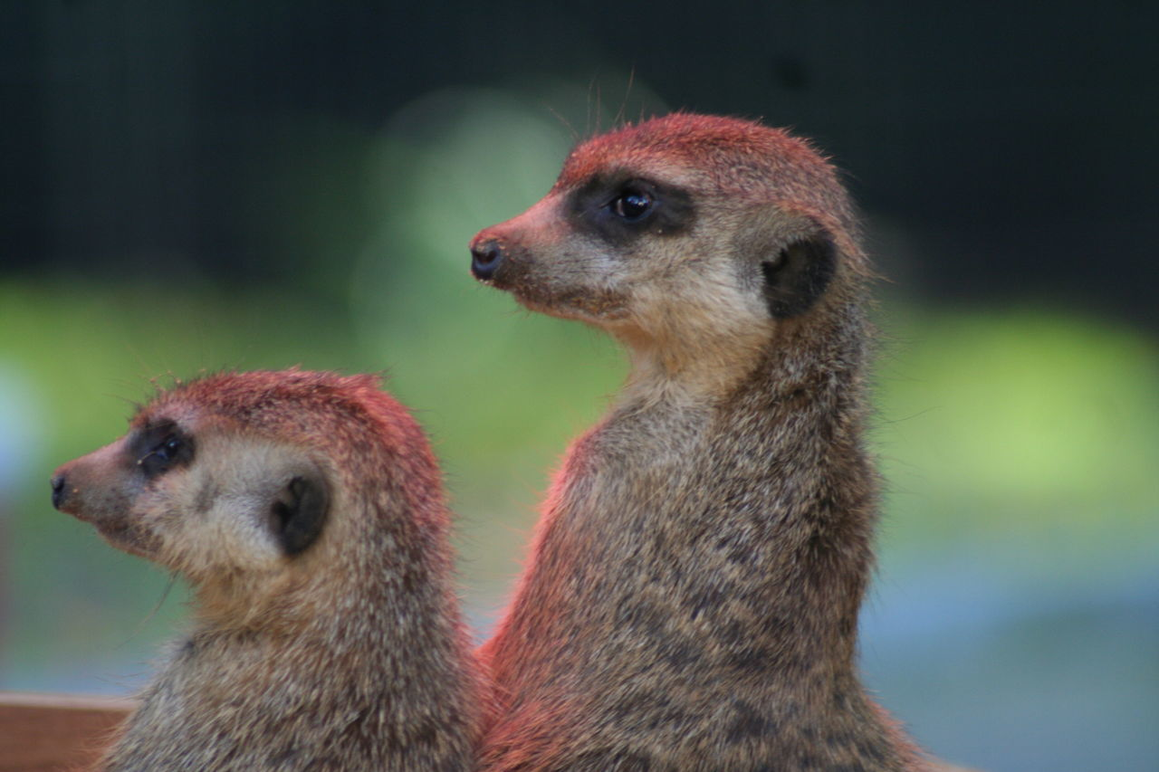At Solingen Fauna! #marmot #sweet Animal Head  Close-up Focus On Foreground No People Two Animals Zoology