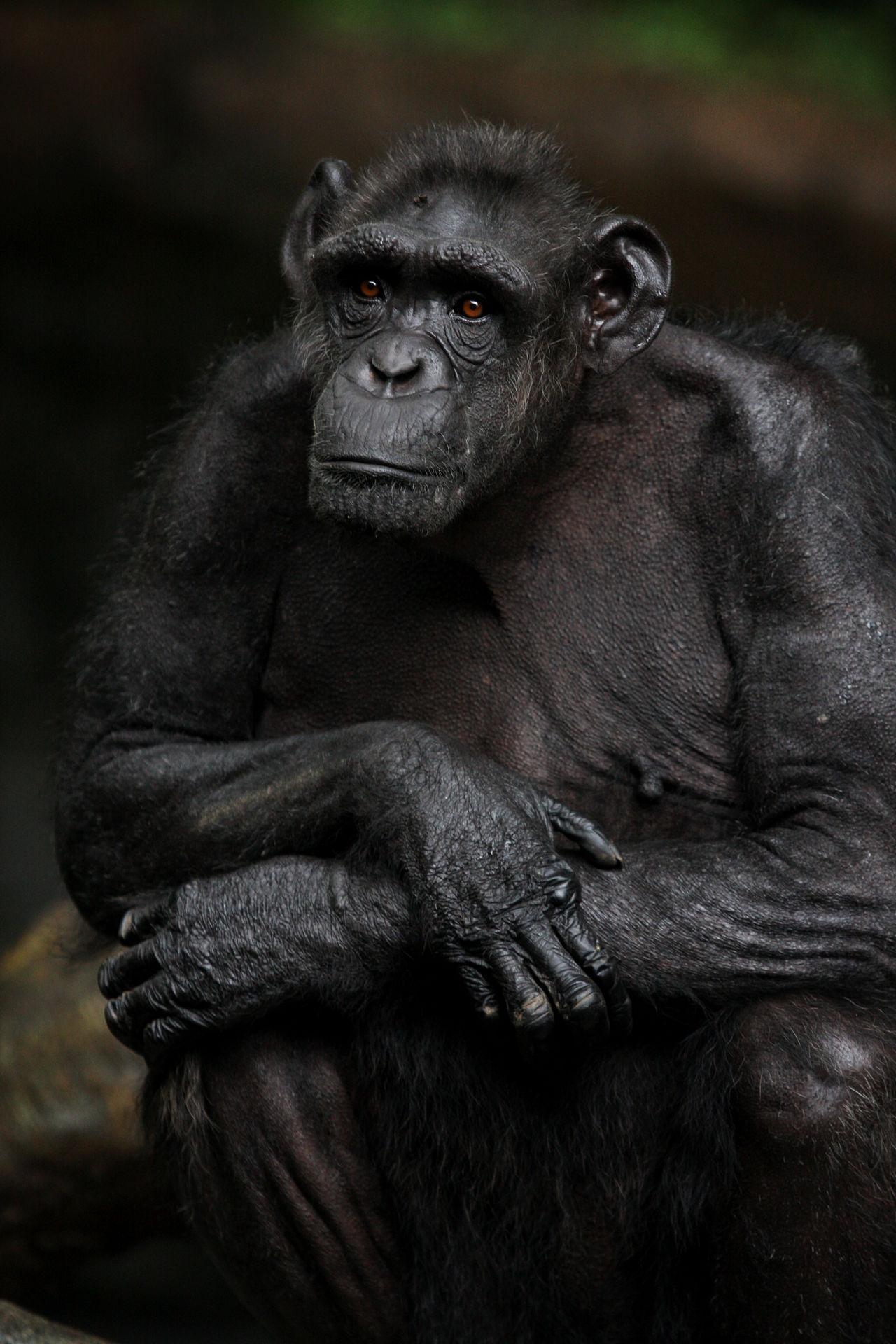 Orang Utang Animal Themes Animal Wildlife Animals In The Wild Ape Black Background Animal Care Chimpanzee Close-up Day Gorilla Mammal Mongkey Monkey Nature No People Orangutan Outdoors Primate Sitting