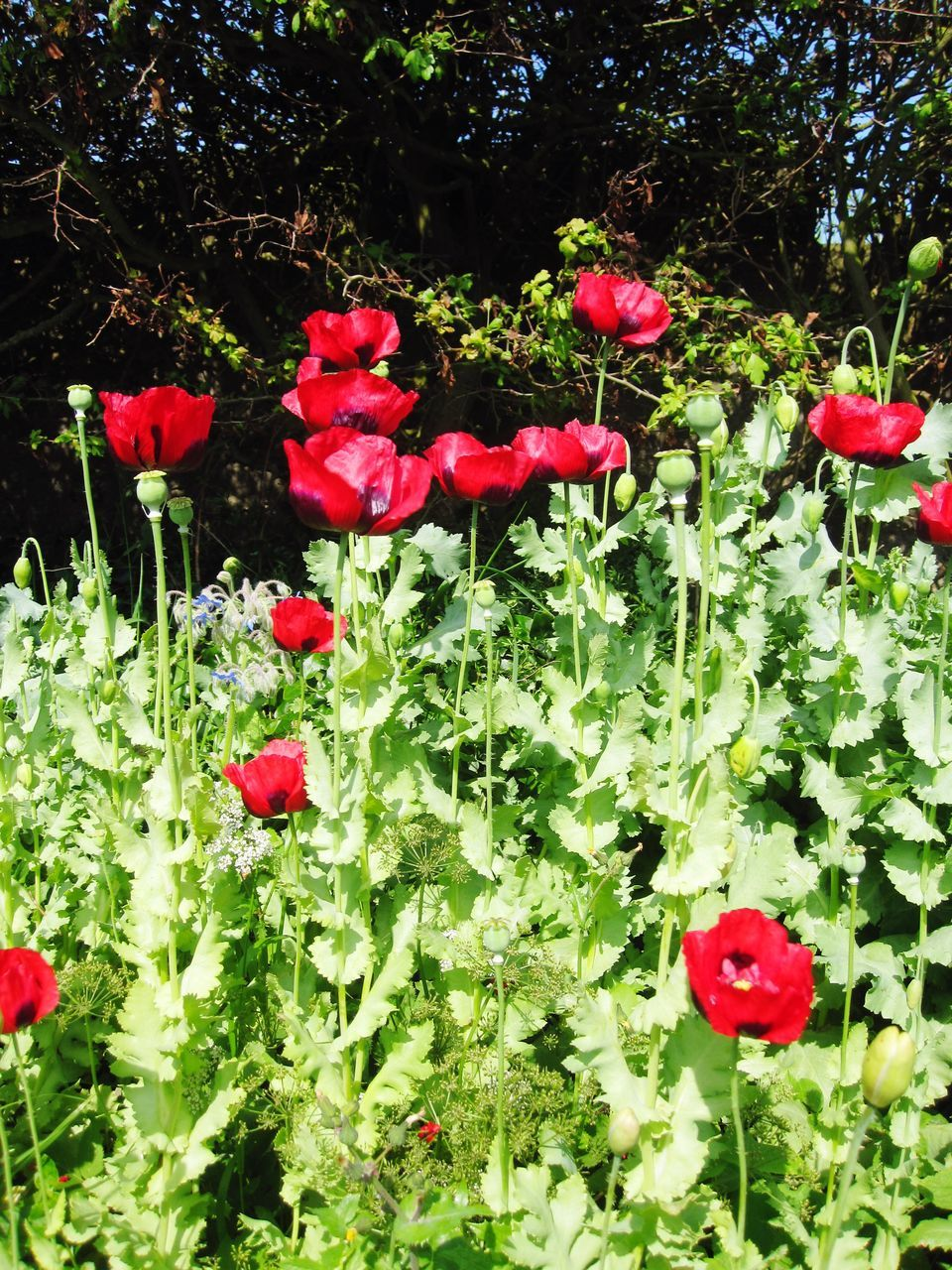 red, growth, flower, nature, plant, beauty in nature, spring, no people, outdoors, poppy, blooming, freshness, day